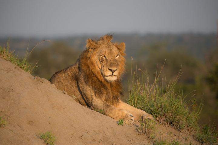 lion, tsalala, londolozi, kruger park, GR