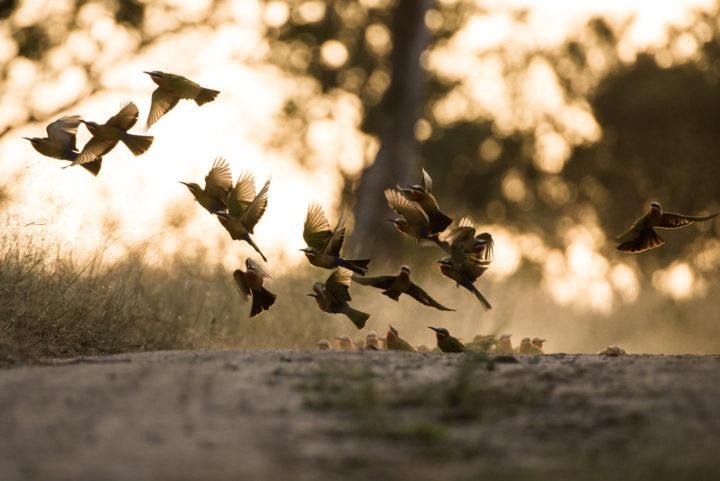 white fronted, bee eater, londolozi, kruger park, GR