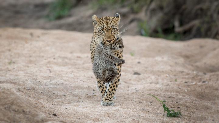 Leopard Carrying Cub - Stoff Kane-Berman