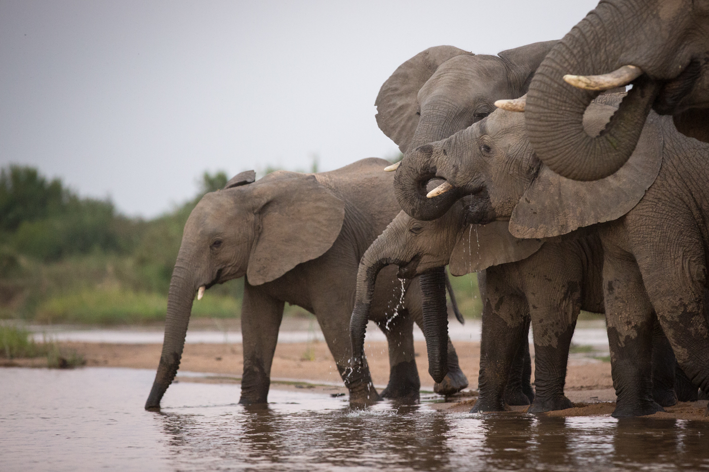 An Elephant Herd Lines Up To Drink From The Sand River. Photograph By James  Tyrrell