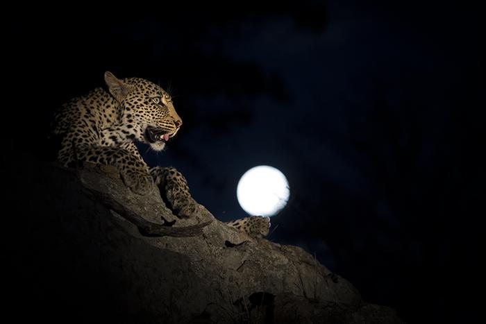 Londolozi, Kruger national Park, leopard, moon, DD