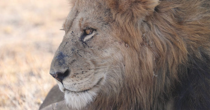 Male Lion at Londolozi