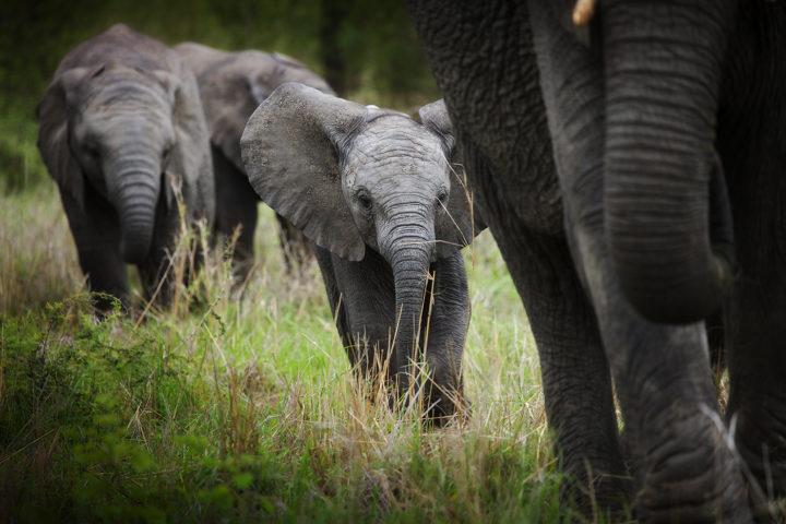 elephant cal, Londolozi, RL