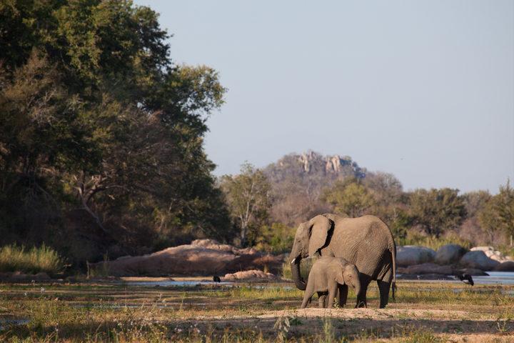 elephant, old elephant crossing, Sand River, Londolozi, AA
