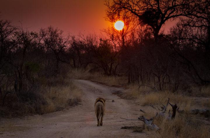 male lion, Londolozi, CA