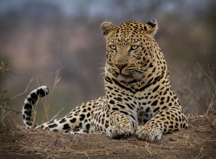 leopard, Inyatini, Londolozi, CA