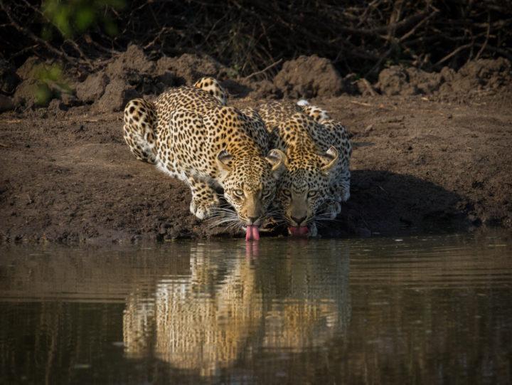 Ndzanzeni, leopard and cub, Londolozi, CA