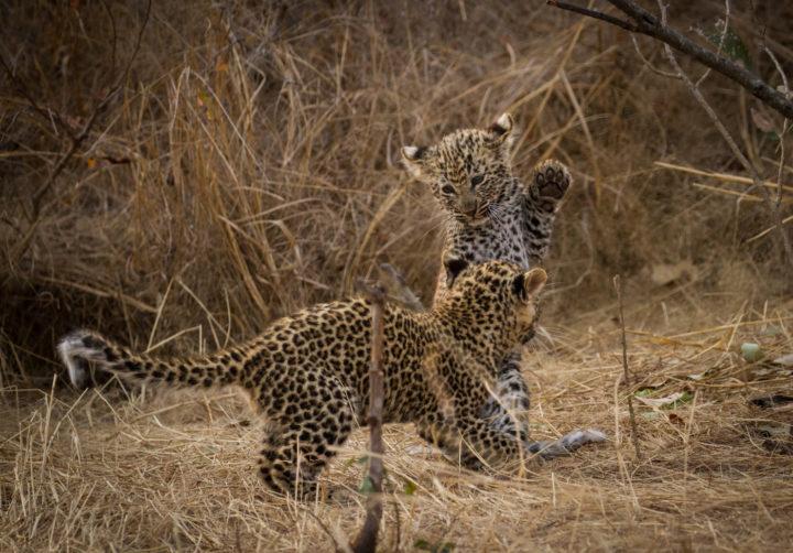 Mashaba, leopard cubs, Londolozi, CA