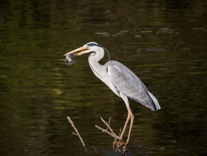 grey heron, Londolozi, CA