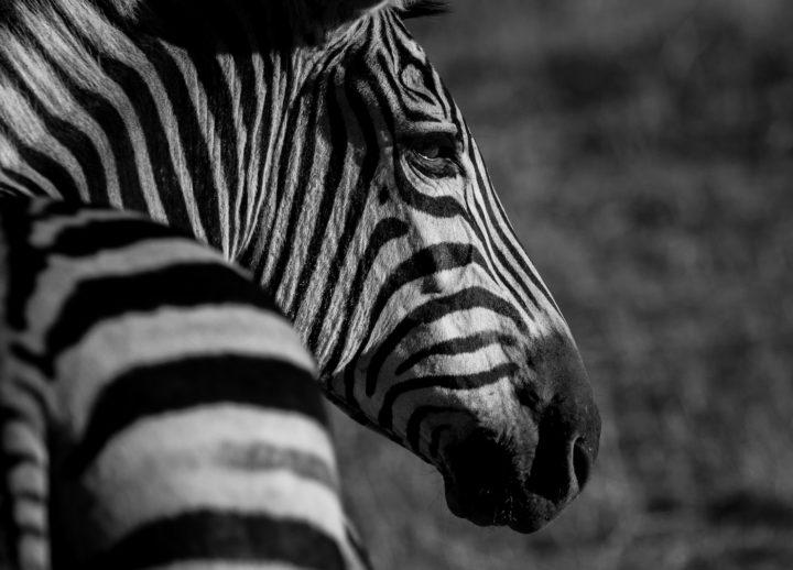 Londolozi, zebra, CA