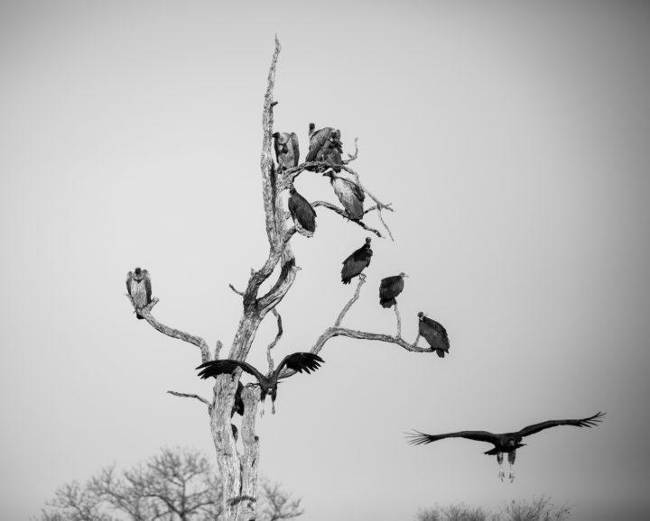 vultures, Londolozi, CA