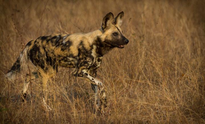 wild dogs, Londolozi, CA