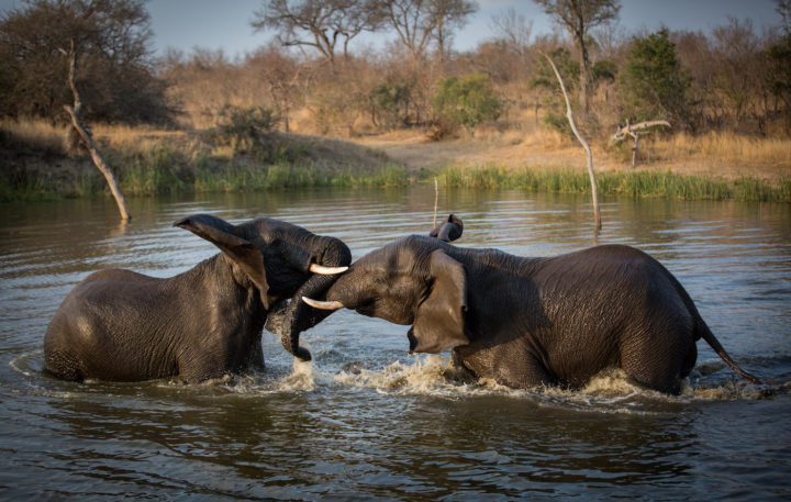 elephants, swimming, Londolozi, CA