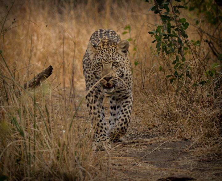 leopard, Londolozi, CA