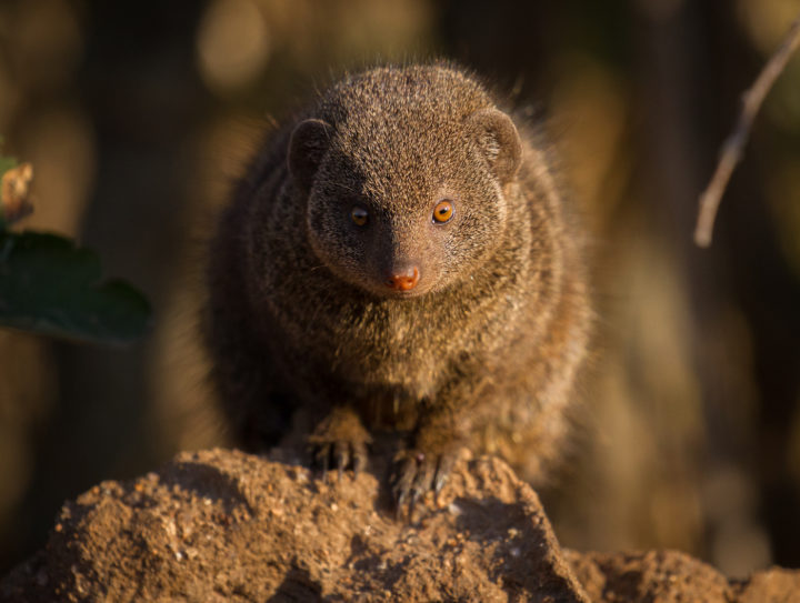 dwarf mongoose, Londolozi, CA