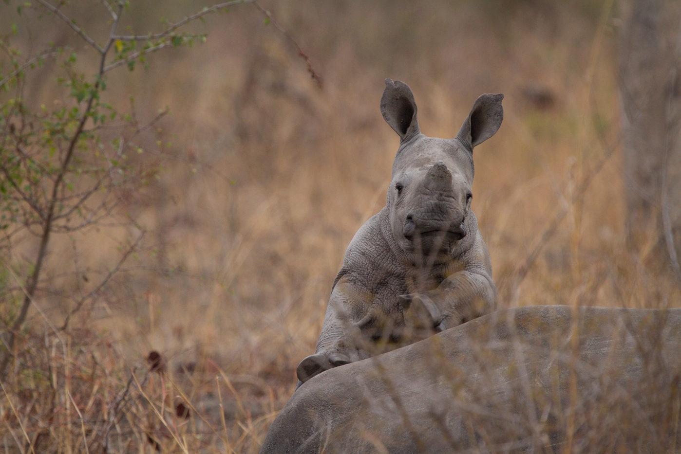 rhino calf, AC, Londolozi, rhino