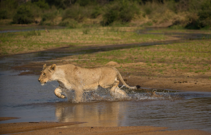 lions, Sand River, AS