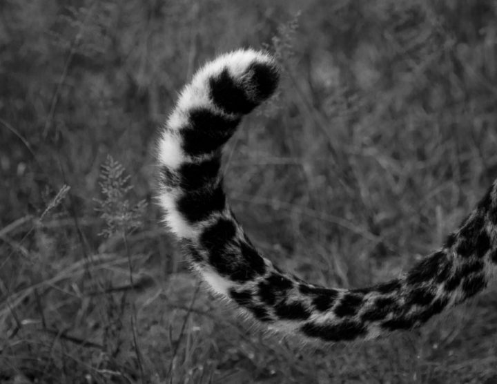 Tamboti tail B&W flick CA