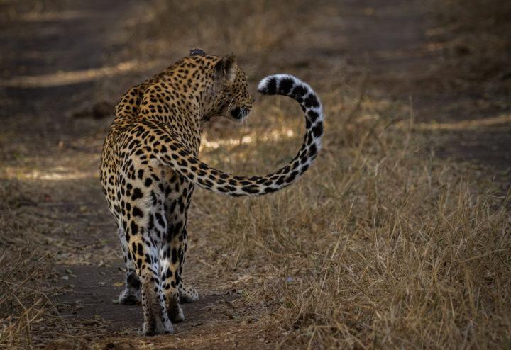 Mashaba tail irritation CA