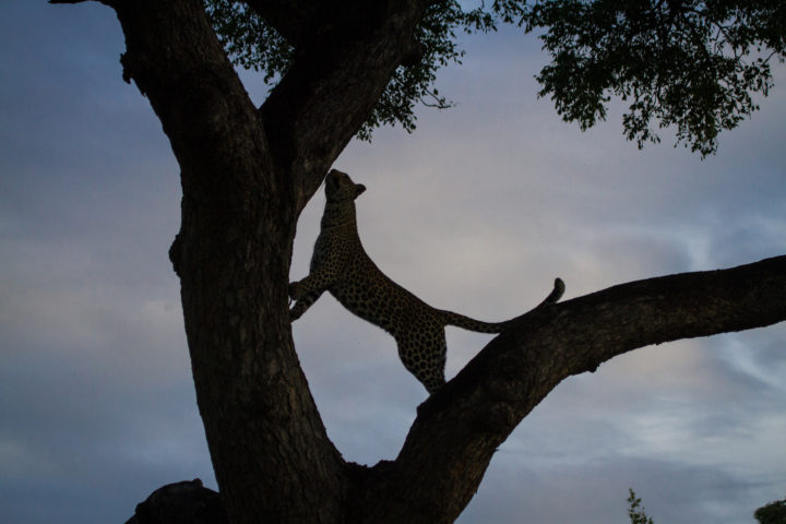 Hlanguleni tree tail CA