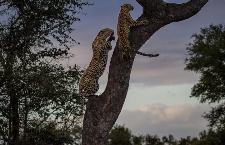 Xidulu-plus-YF-climb-tree CA