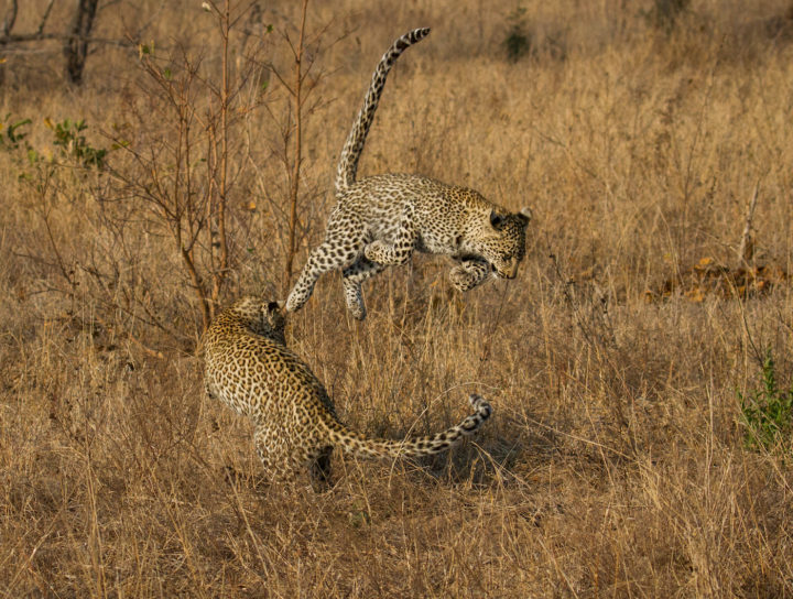 Nkoveni cubs play mid air CA