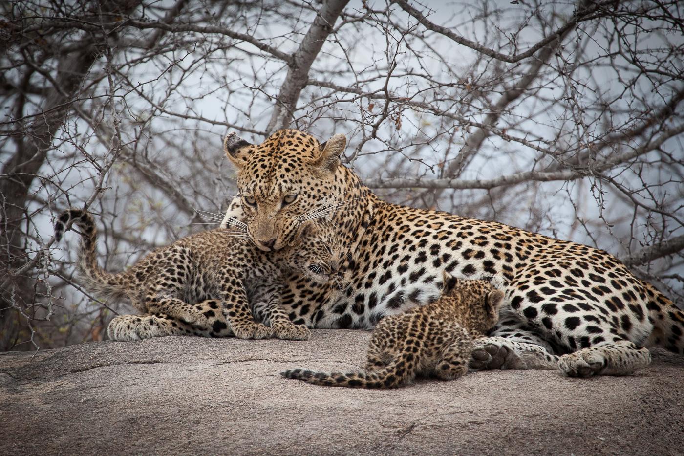 применении леопард самка картинки заместитель