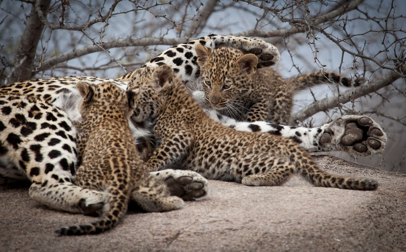 Spring's Gift: Introducing New Leopard Cubs | Londolozi Blog