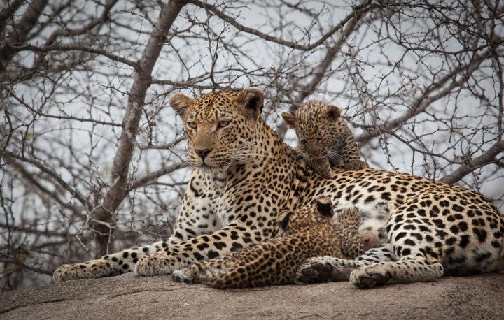 mashaba female leopard, AA