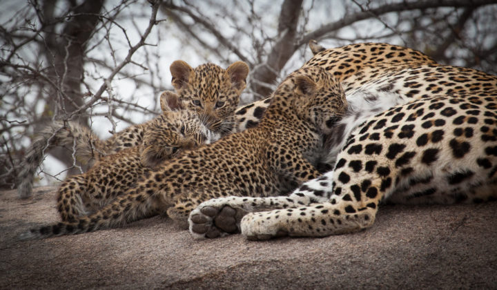 mashaba leopard and cubs, AA