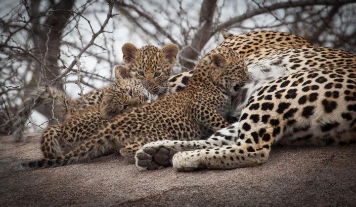 mashaba leopard and cubs, AA