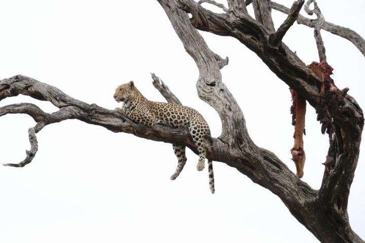 londolozi, Kruger national Park, leopard, mashaba young female, leadwood