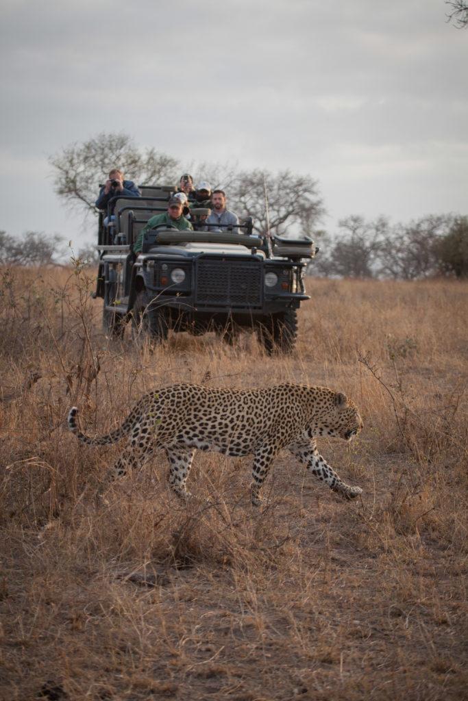 Inyathini male, walk by, vehicle, leopard, PT