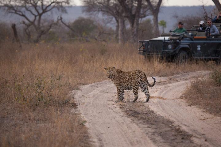 Inyathini male, leopard, vehicle, PT