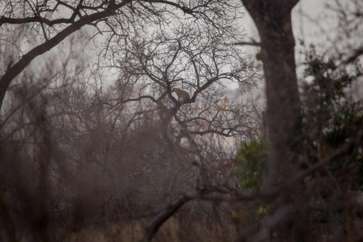 Tamboti female, leopard, tree, long distance, PT