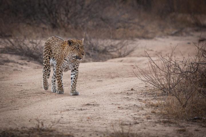 Tamboti female leopard walking PT