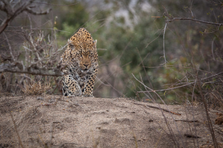 Tamboti female leopard stalking PT