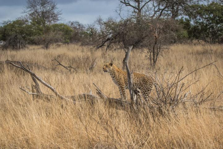 Judy Bloch tamboti female leopard 2017