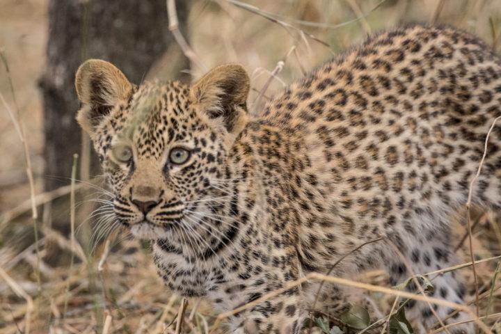 Tamboti females cub staring 2017 Bennet Mathonsi leopard