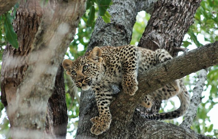 Leopard cub, tamboti female, tree 2017 Bennet Mathonsi
