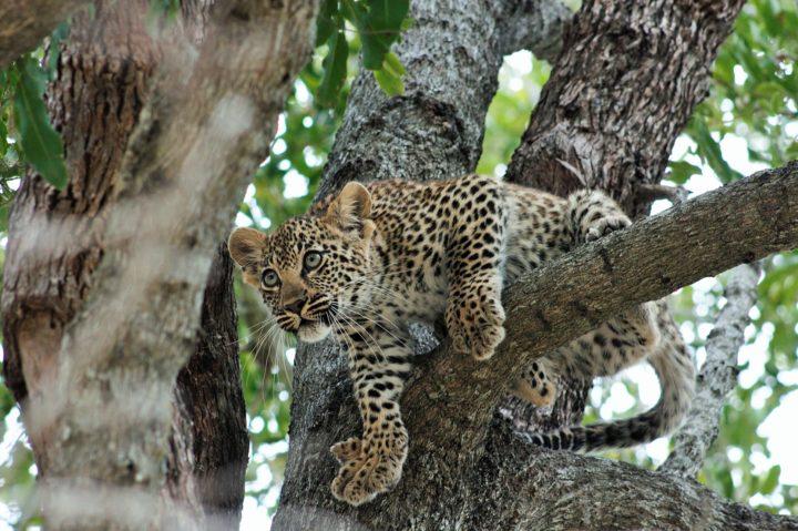 Leopard cub, tamboti female, tree 2017 Bennet Mathonsi