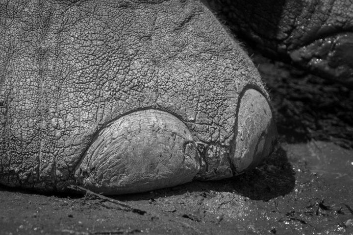 Elephant, Textures, Toe nail