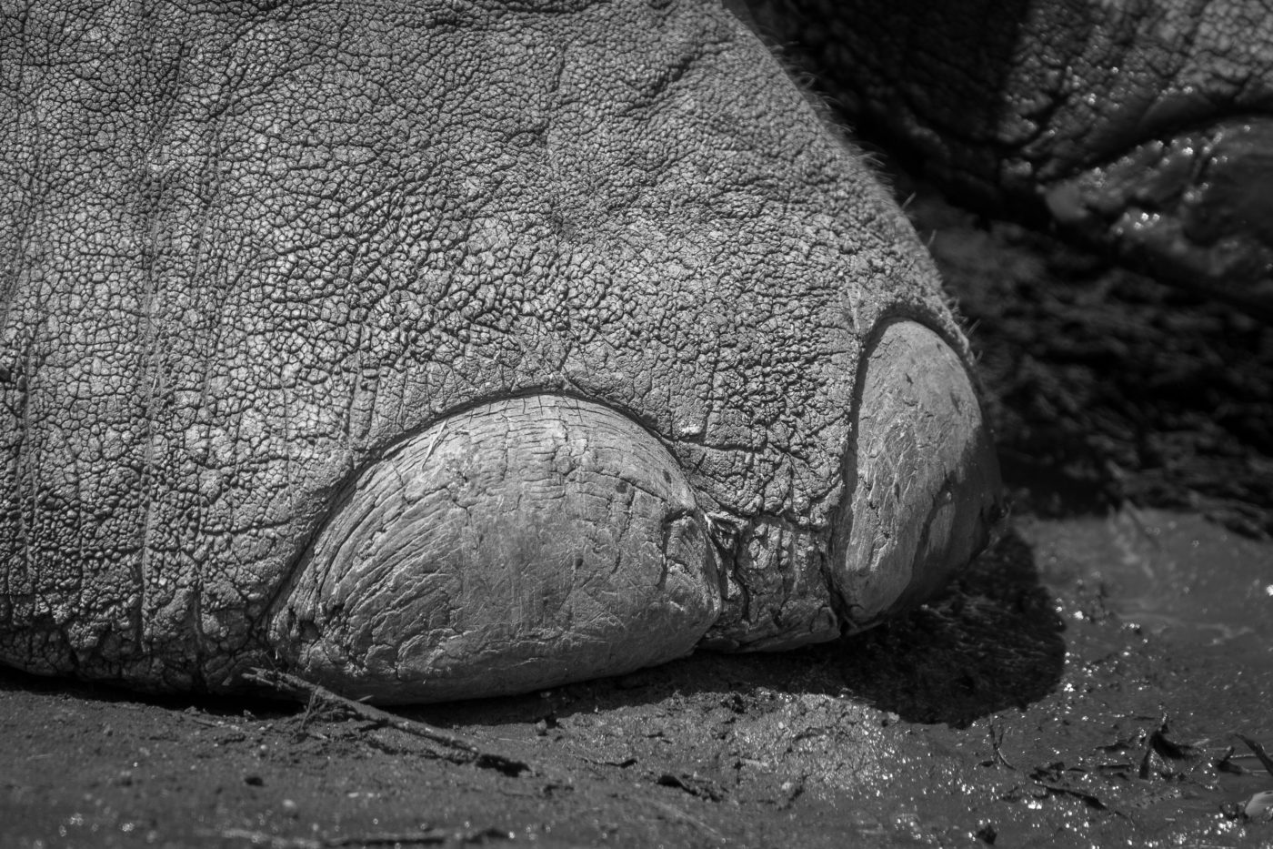 sale retailer 17682 3629e Toenails in the mud and fine textures of skin. Toenails of an elephant are  often over-looked and are fascinating yet seemingly bizarre.