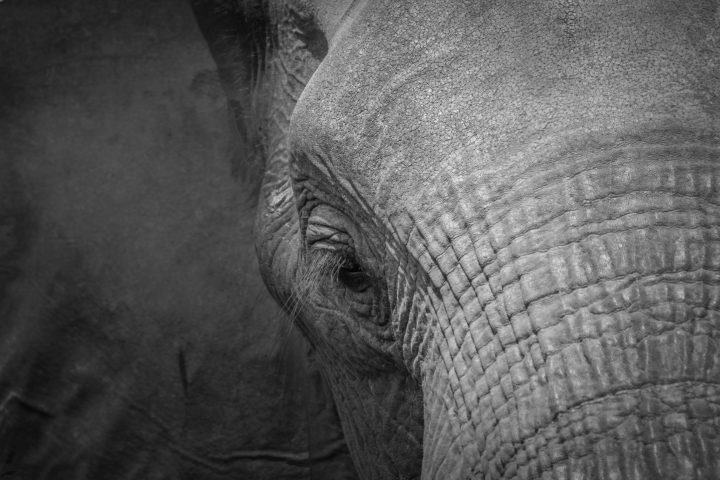 Elephant, head, ear, eye, wrinkles