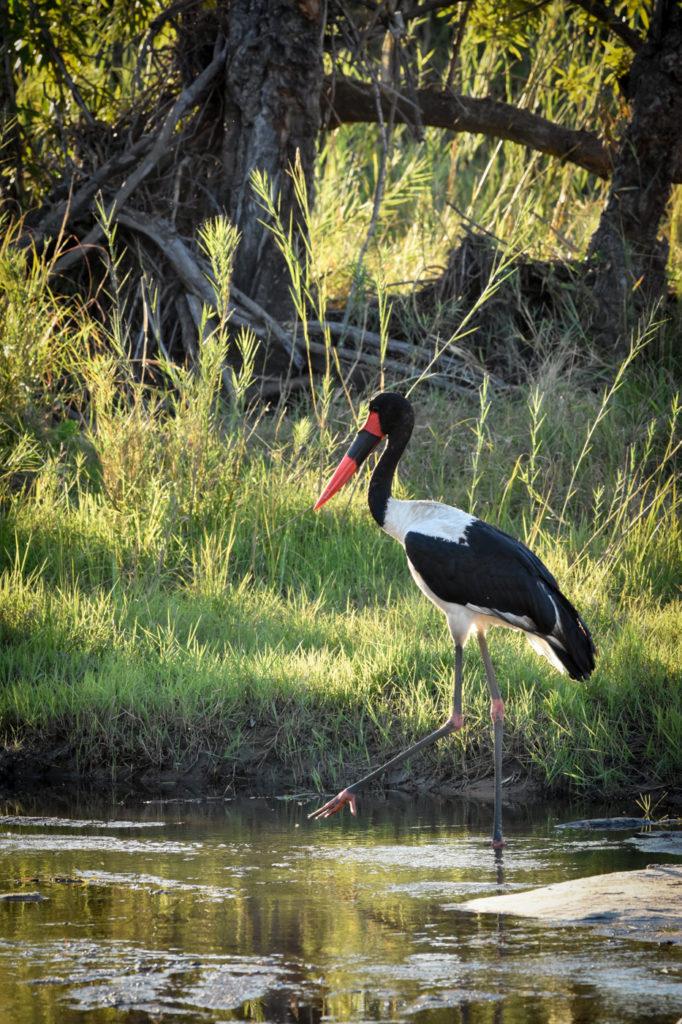 saddle billed stork, river, Londolozi, Kruger national Park