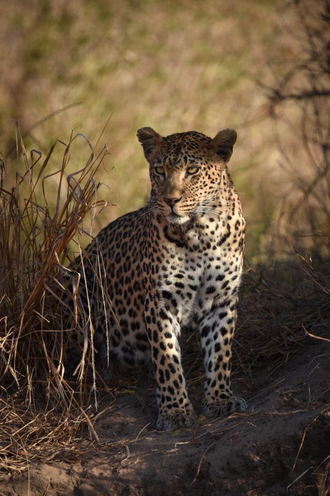 mashaba, leopard, Londolozi, Kruger