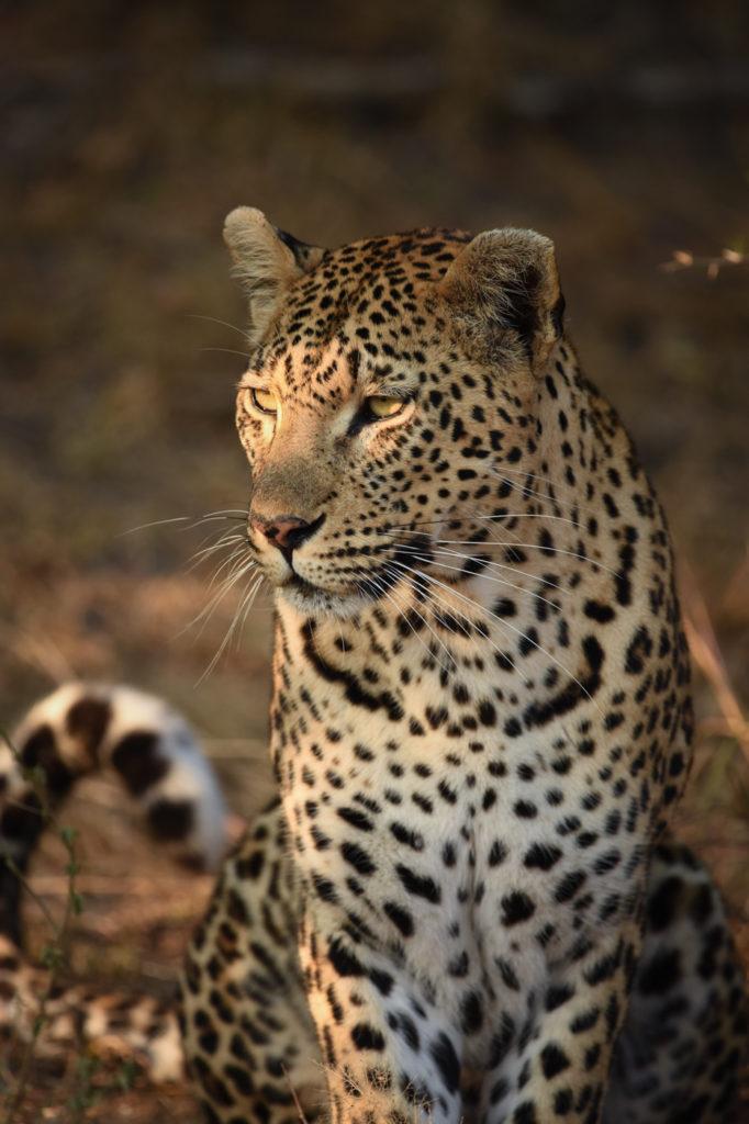 mashaba leopard, Londolozi, Kruger