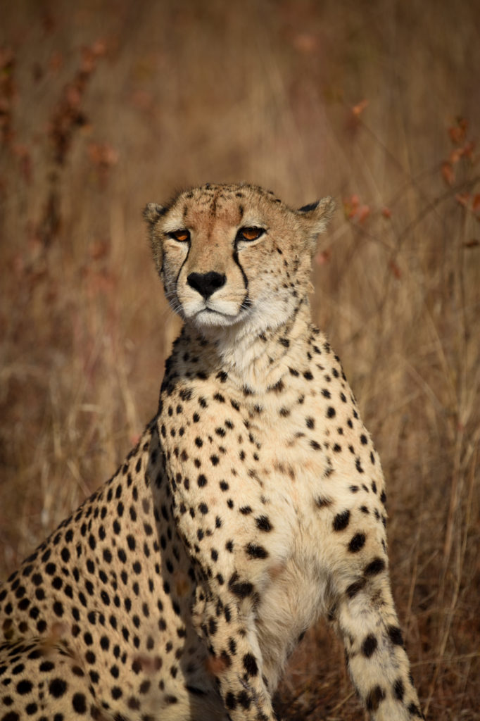 cheetah, Londolozi, Kruger National Park
