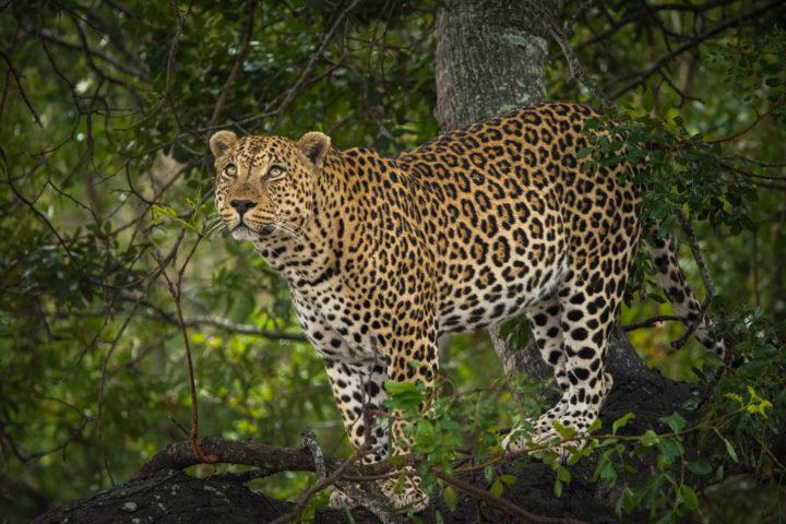 piva male leopard, Londolozi, Kruger National Park