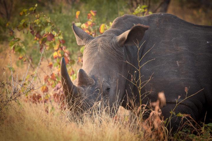 rhino, grass, Londolozi, Kruger National Park